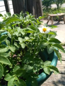 potato plant with bloom